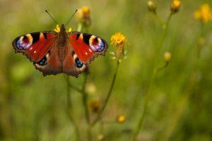 marikarentierfotografie, peacockbutterfly